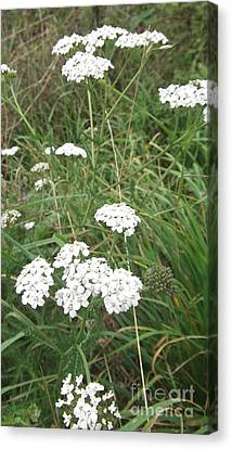 White Flowers Canvas Print by John Williams