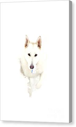 White German Shepherd In Snow Canvas Print by Thomas R Fletcher