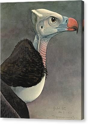 White Headed Vulture Canvas Print by Louis Agassiz Fuertes