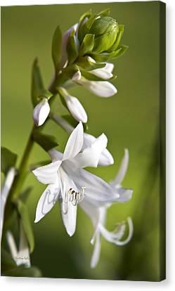 White Hosta Flower Canvas Print by Christina Rollo
