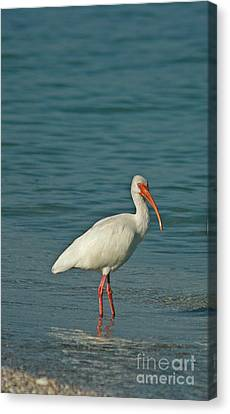 White Ibis Canvas Print by Cindi Ressler