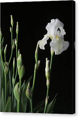 White Iris In Black Of Night Canvas Print by Guy Ricketts