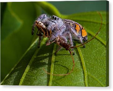 White Jumping Spider With Prey Canvas Print by Craig Lapsley