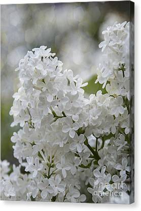 White Lilacs In Bloom Canvas Print by Juli Scalzi