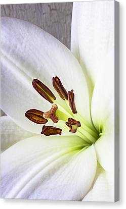 White Lily Close Up Canvas Print by Garry Gay