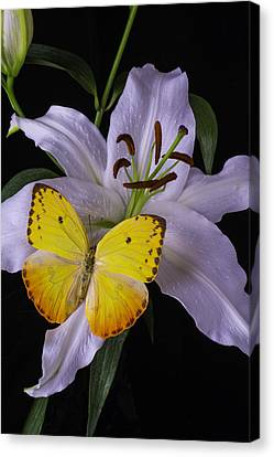 White Lily With Yellow Butterfly Canvas Print by Garry Gay