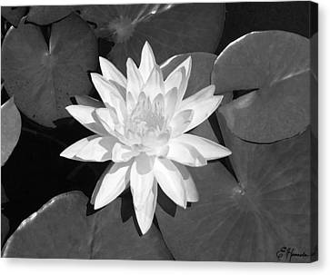 White Lotus 2 Canvas Print by Ellen Henneke