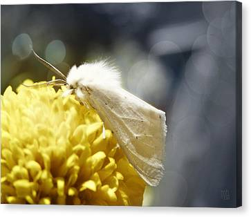 White Moth Canvas Print by Catherine Noel