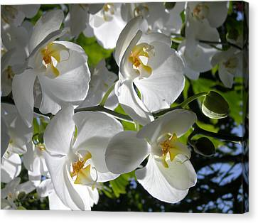 White Orchid In Light Canvas Print by Shirin Shahram Badie