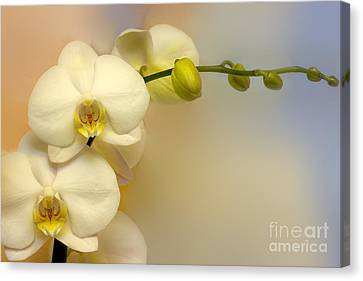 White Orchid Canvas Print by Lutz Baar
