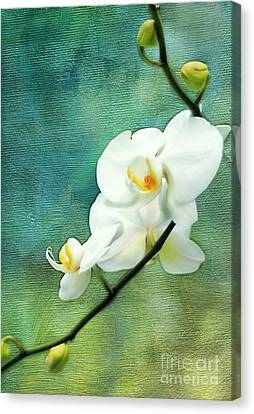 White Orchids Canvas Print by Darren Fisher