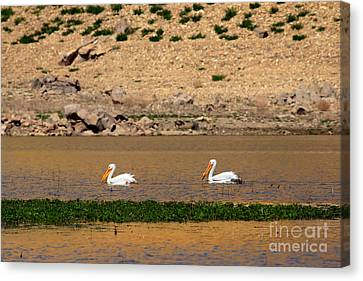 White Pelicans Canvas Print by Robert Bales