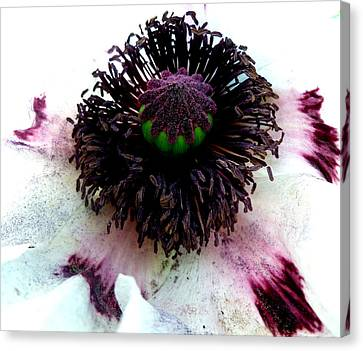 White Poppy Macro Canvas Print by The Creative Minds Art and Photography