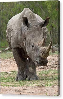 White Rhino Canvas Print by Bob Gibbons