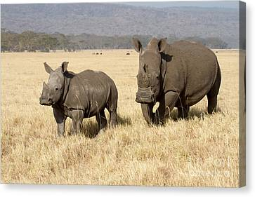 White Rhino Calf Canvas Print by Chris Scroggins