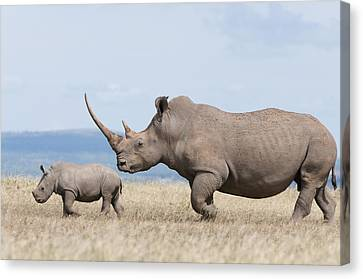 White Rhinoceros And Calf  Kenya Canvas Print by Tui De Roy