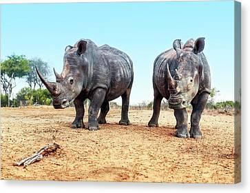 White Rhinoceros Bulls Canvas Print by Peter Chadwick