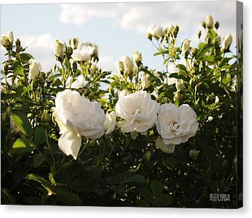 White Rosa Rugosa Canvas Print by Beverly Brown Prints