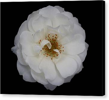 White Rose 2 Canvas Print by Carol Welsh