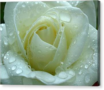 White Rose Canvas Print by Juergen Roth
