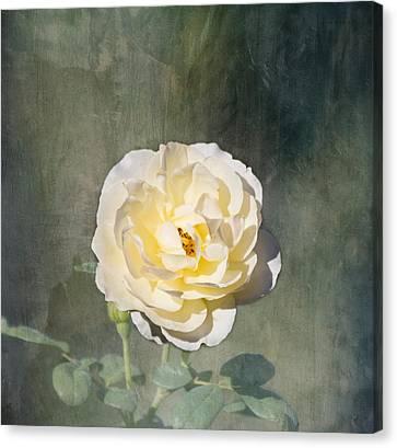 White Rose Canvas Print by Kim Hojnacki