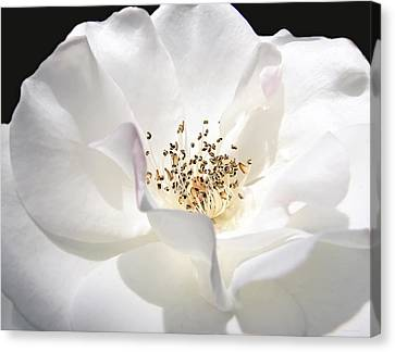 White Rose Petals Canvas Print by Jennie Marie Schell