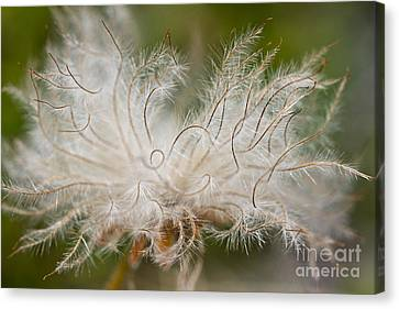White Seedhad Of Mountain Avens Canvas Print by Heiko Koehrer-Wagner
