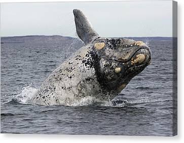 White Southern Right Whale Breaching Canvas Print by Hiroya  Minakuchi