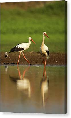 White Stork (ciconia Ciconia) Canvas Print by Photostock-israel