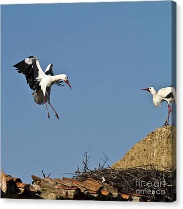 White Stork Landing Canvas Print by Heiko Koehrer-Wagner