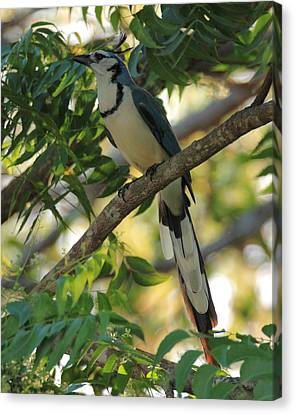 White Throated Magpie-jay Canvas Print by Coby Cooper