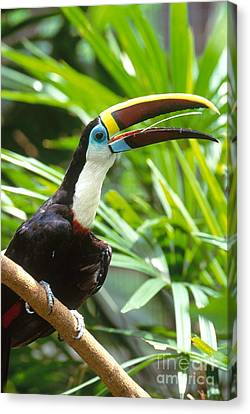 White-throated Toucan Canvas Print by Art Wolfe