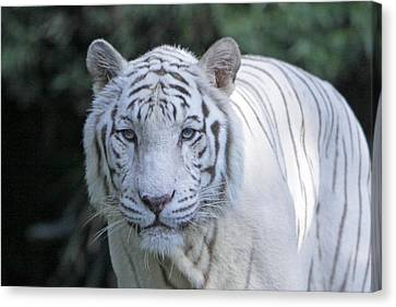 White Tiger Face Canvas Print by Shoal Hollingsworth