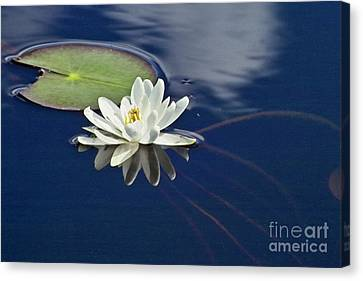 White Water Lily Canvas Print by Heiko Koehrer-Wagner