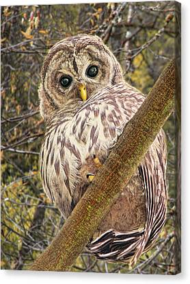 Who Who Are You Barred Owlet Canvas Print by Jennie Marie Schell