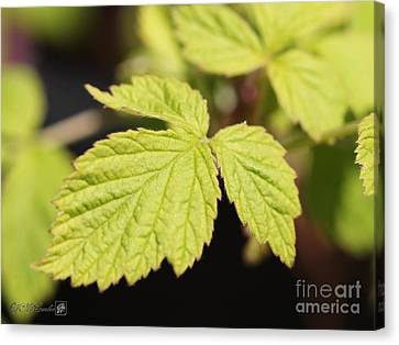 Wild Black Raspberry Leaves Canvas Print by J McCombie