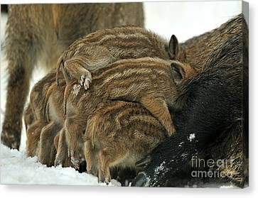 Wild Boar Piglets Canvas Print by Reiner Bernhardt