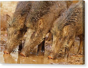 Wild Boars Drinking Water Canvas Print by Jagdeep Rajput