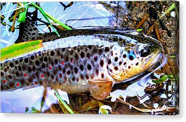Wild Brown Trout Halos Canvas Print by Bryan Clem