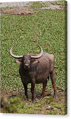 Wild Buffalo Near Water Body, Kaziranga Canvas Print by Jagdeep Rajput
