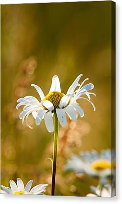 Wild Daisies Canvas Print by Matt Dobson