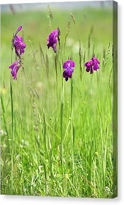 Wild Gladiolus (gladiolus Kotschyanus) Canvas Print by Bob Gibbons
