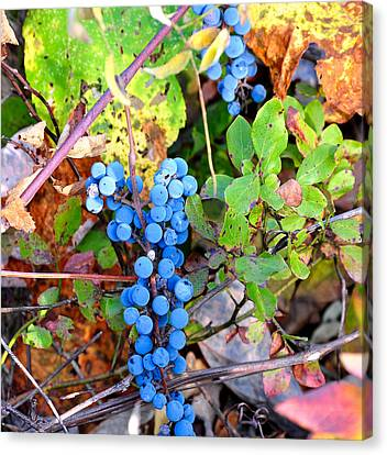 Wild Grapes Canvas Print by Todd Hostetter