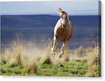 Wild Horse Running Canvas Print by Ken Archer
