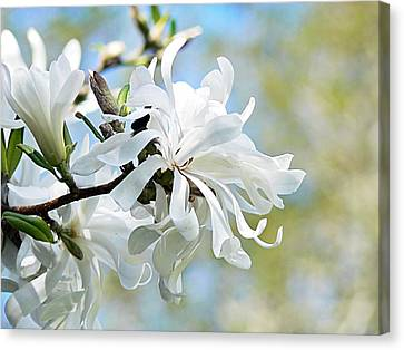 Wild Magnolia Blooms Canvas Print by Pamela Patch