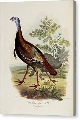 Wild Turkey Canvas Print by British Library