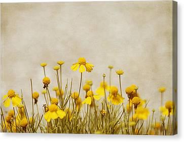 Wildflower Daisies Canvas Print by Kim Hojnacki