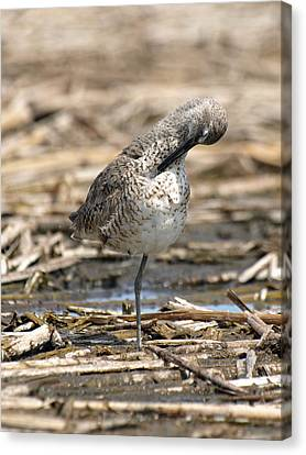 Willet Canvas Print by James Peterson