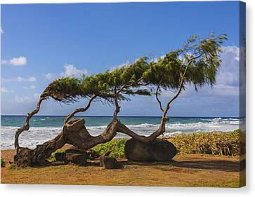 Wind Blown Tree 2 - Kauai Hawaii Canvas Print by Brian Harig
