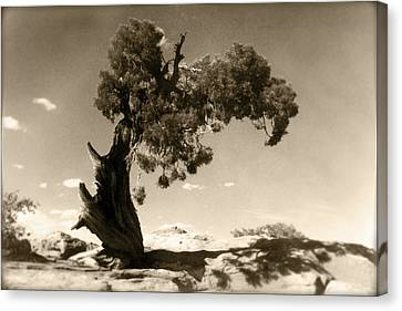 Wind Swept Tree Canvas Print by Scott Norris